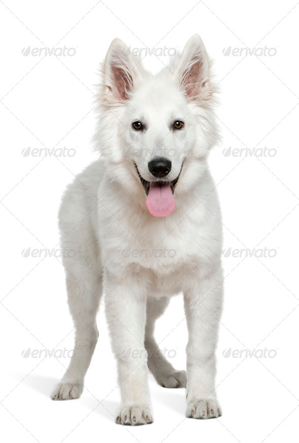 Swiss Shepherd puppy, 4 months old, standing in front of white background - Stock Photo - Images