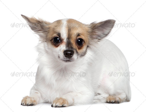 Chihuahua, 8 months old, in front of white background - Stock Photo - Images