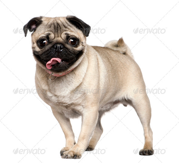 Pug, 3 years old, standing in front of white background - Stock Photo - Images