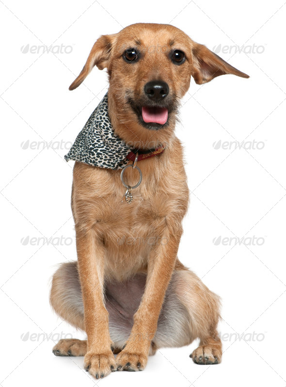 Mixed Griffon wearing handkerchief, 1 year old, sitting in front of white background - Stock Photo - Images