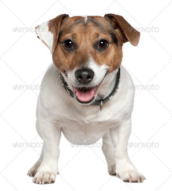 Jack Russell Terrier, 2 and a half years old, standing in front of white background - Stock Photo - Images