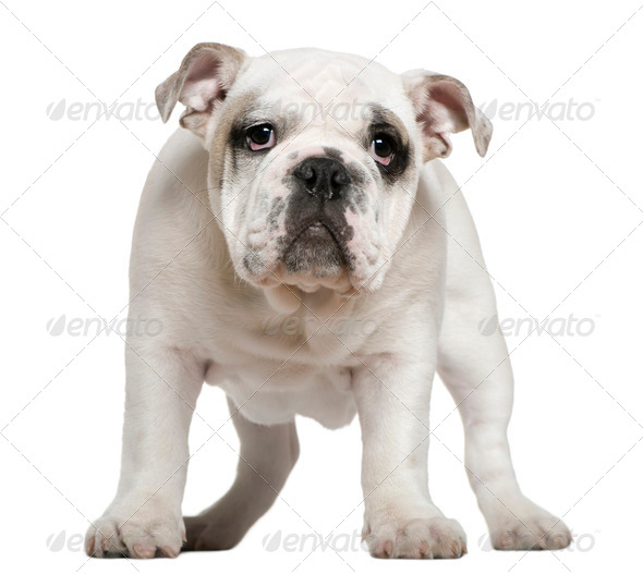English bulldog puppy, 5 months old, standing in front of white background - Stock Photo - Images