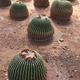Several cactus (Echinocactus grusonii) growing on dirt - PhotoDune Item for Sale
