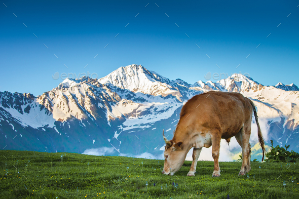 Summer landscape in the Alps with cow grazing - Stock Photo - Images