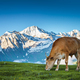 Summer landscape in the Alps with cow grazing - PhotoDune Item for Sale