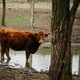 Brown Limousin cattle - PhotoDune Item for Sale