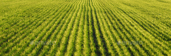 Green wheat rows and waves of the agricultural fields - Stock Photo - Images