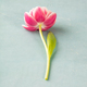 Pink tulips on blue background, top view - PhotoDune Item for Sale