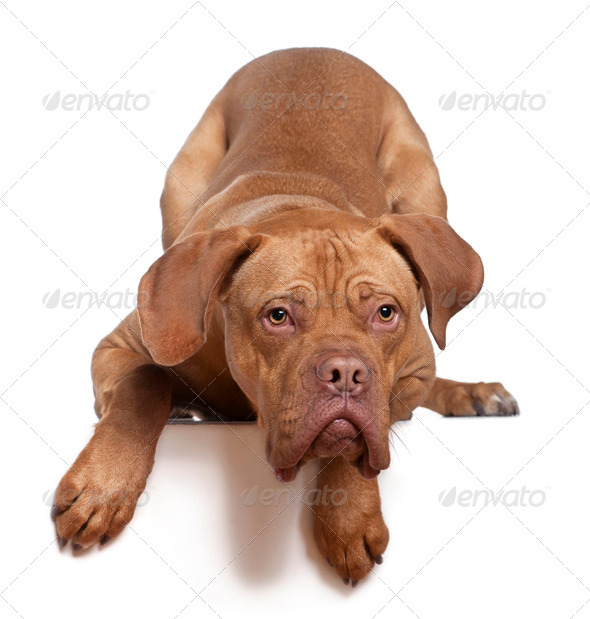 Dogue de Bordeaux, 8 months old, sitting in front of white background - Stock Photo - Images