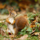 Attentive red squirrel with fluffy tail portrayed in the autumn atmosphere - PhotoDune Item for Sale