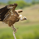 Eurasian griffon taking off from a dry tree in summer nature - PhotoDune Item for Sale