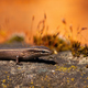 European copper skink, ablepharus kitaibelii, on a stone during autumnal sunset - PhotoDune Item for Sale
