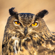 Close-up of large wild owl looking into camera with intense orange eyes - PhotoDune Item for Sale