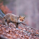 Shy red fox with her tail down wandering in the gloomy autumnal forest - PhotoDune Item for Sale