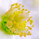 Macro of a christmas rose flower blossom - PhotoDune Item for Sale