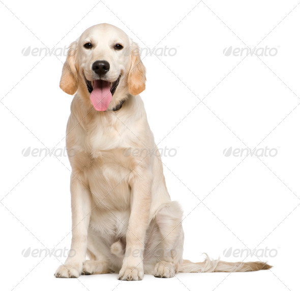 Golden Retriever, 6 months old, sitting in front of white background - Stock Photo - Images