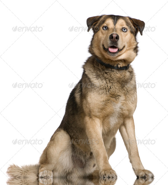 Husky mixed with a German Shepherd, 2 years old, sitting in front of white background - Stock Photo - Images