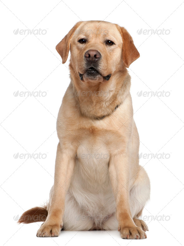 Labrador retriever, 2 years old, sitting in front of white background - Stock Photo - Images
