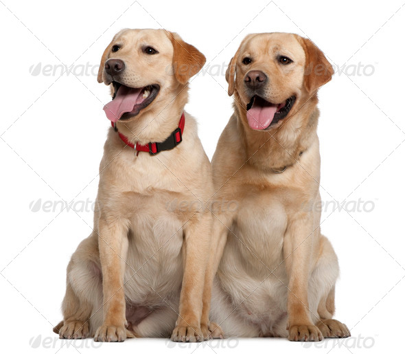 Two Labrador Retrievers, 2 years old and 11 months old, sitting in front of white background - Stock Photo - Images