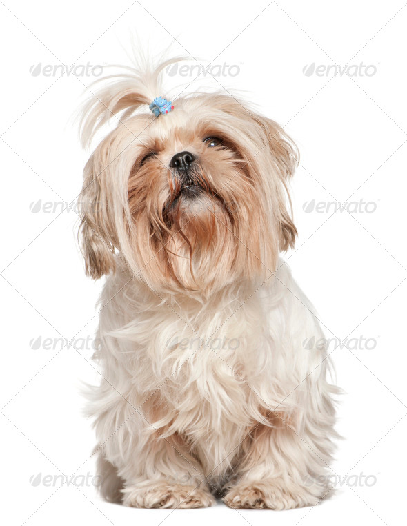 Shih Tzu, 4 years old, in front of white background - Stock Photo - Images