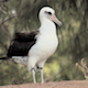 Albatrosses Cleaning Themselves - VideoHive Item for Sale