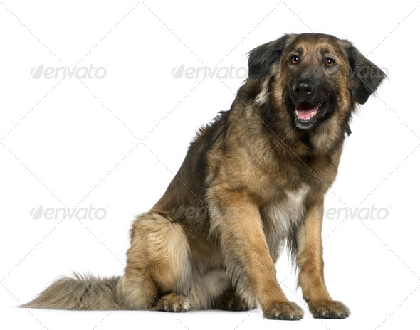 Mixed German Shepherd dog, 3 years old, sitting in front of white background - Stock Photo - Images