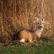 Roe deer - Capreolus capreolus - PhotoDune Item for Sale
