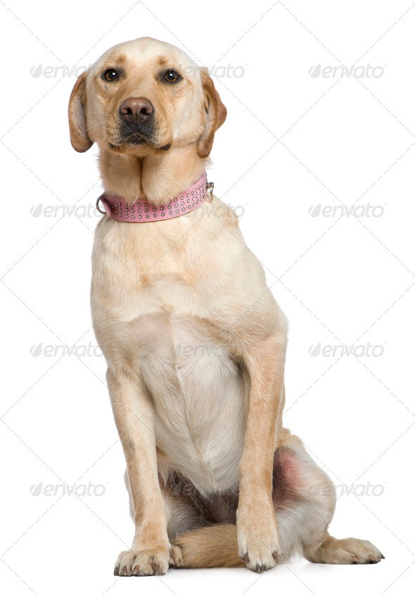 Labrador, 4 years old, sitting in front of white background - Stock Photo - Images