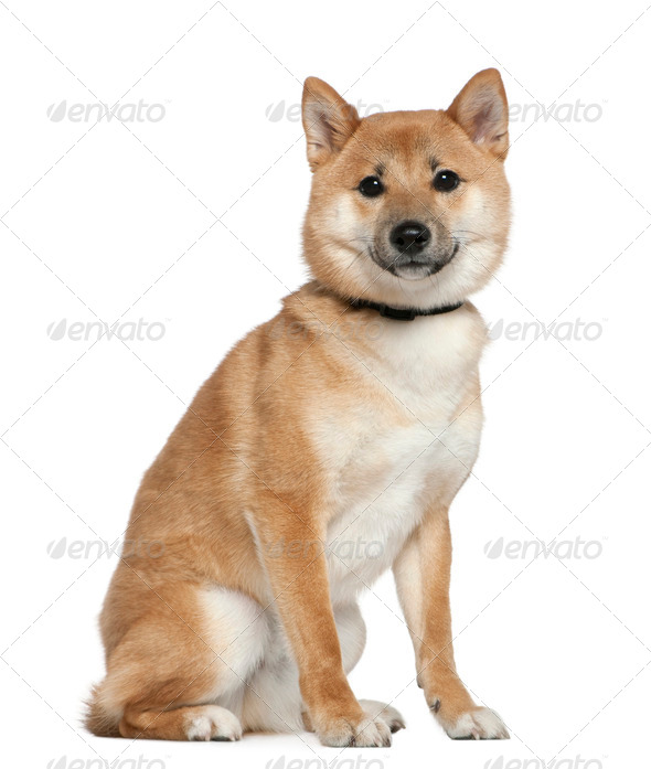 Shiba Inu, 11 months old, sitting in front of white background - Stock Photo - Images