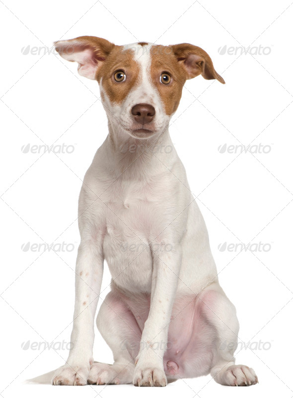 Jack Russell Terrier, 3 and a half months old, sitting in front of white background - Stock Photo - Images