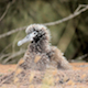 Baby Albatross In Its Nest - VideoHive Item for Sale