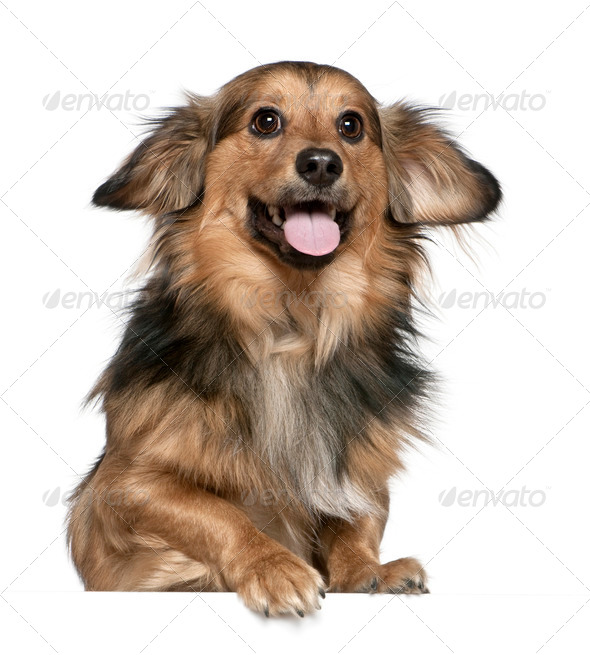 Dachshund, 6 years old, in front of white background - Stock Photo - Images