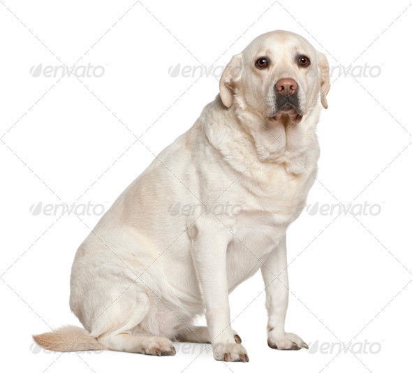 Labrador retriever, 5 years old, sitting in front of white background - Stock Photo - Images
