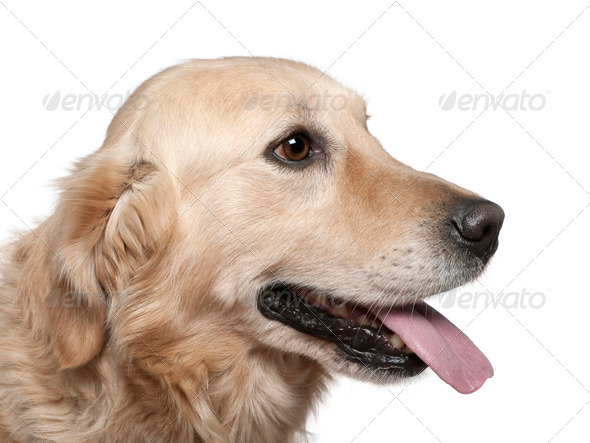 Close-up of Labrador retriever, 4 years old, in front of white background - Stock Photo - Images
