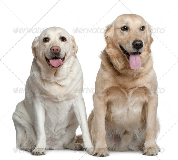 Two Labrador retrievers, 4 years old, sitting in front of white background - Stock Photo - Images