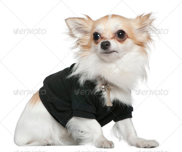 Chihuahua dressed in black, 1 year old, sitting in front of white background - Stock Photo - Images