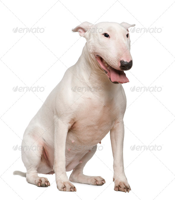Bull Terrier, 2 years old, sitting in front of white background - Stock Photo - Images