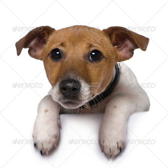 Jack Russell Terrier, 3 months old, in front of white background - Stock Photo - Images