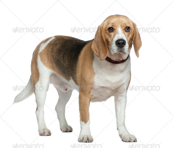 Beagle, 3 years old, standing in front of white background - Stock Photo - Images