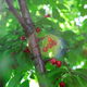 Ripe red cherries hanging from a cherry tree branch. - PhotoDune Item for Sale