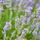 Close up of Lavender bushes on sunset in summer - PhotoDune Item for Sale
