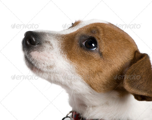 Jack Russell Terrier, 12 weeks old, looking up in front of white background - Stock Photo - Images