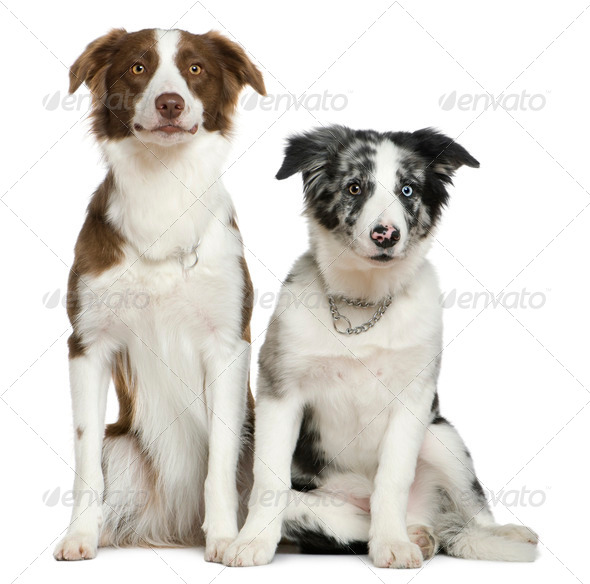 Two Border Collies, 11 months and  4 months old, sitting in front of white background - Stock Photo - Images