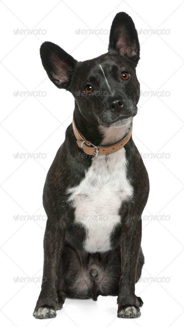 Mixed-breed dog, 5 years old, sitting in front of white background - Stock Photo - Images