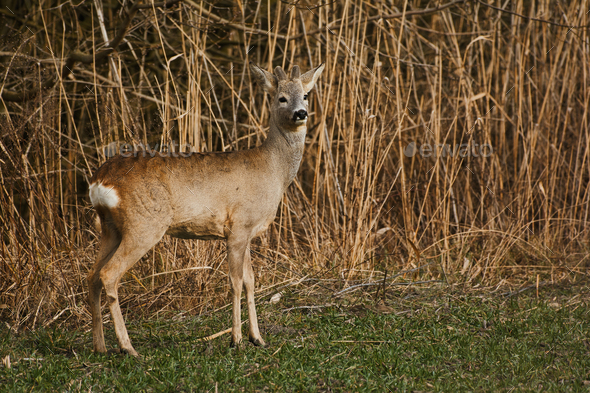 Roe deer - Stock Photo - Images