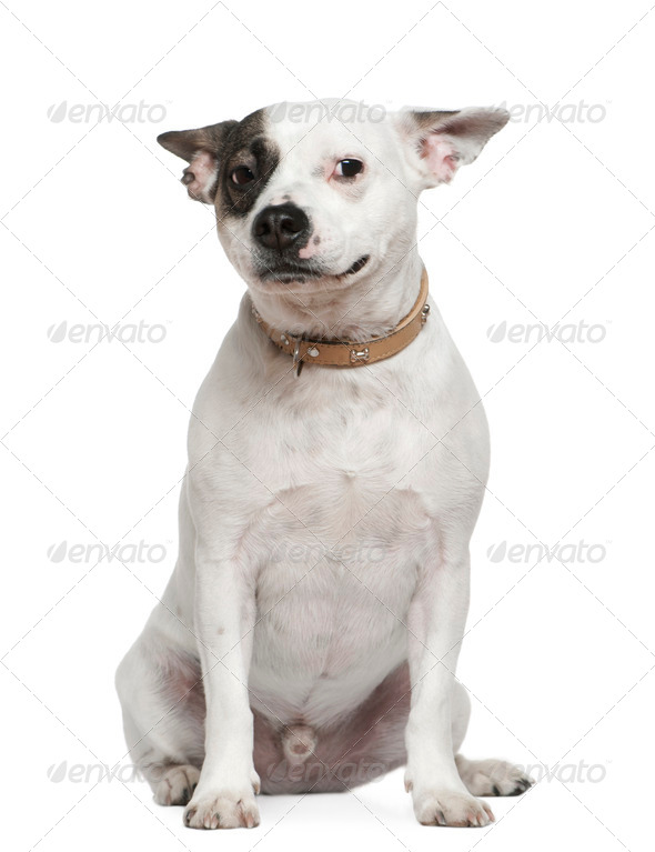 French bulldog mixed with a Jack Russell, 2 years old, sitting in front of white background - Stock Photo - Images