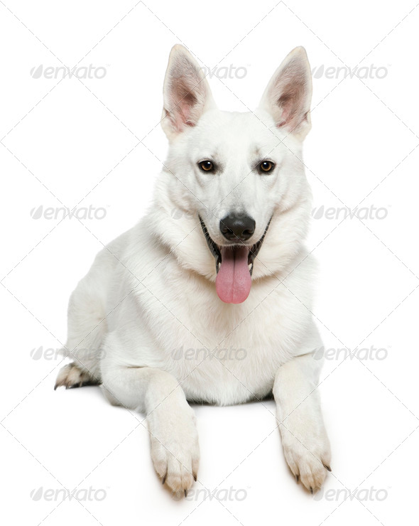 Swiss Shepherd dog, 1 year old, lying in front of white background - Stock Photo - Images