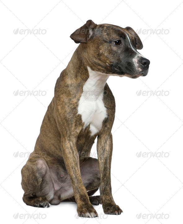 American Staffordshire Terrier, 9 months old, sitting in front of white background - Stock Photo - Images