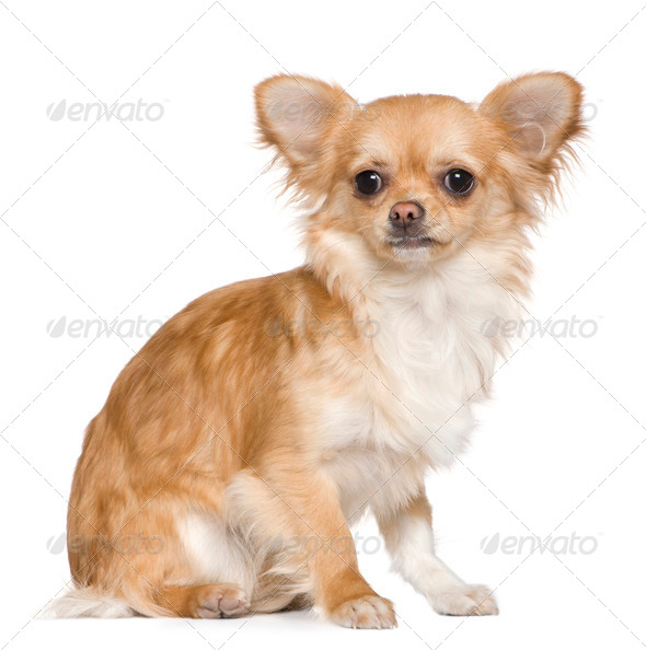 Chihuahua, 8 months old, sitting in front of white background - Stock Photo - Images