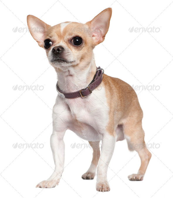 Chihuahua, 2 years old, standing in front of white background - Stock Photo - Images